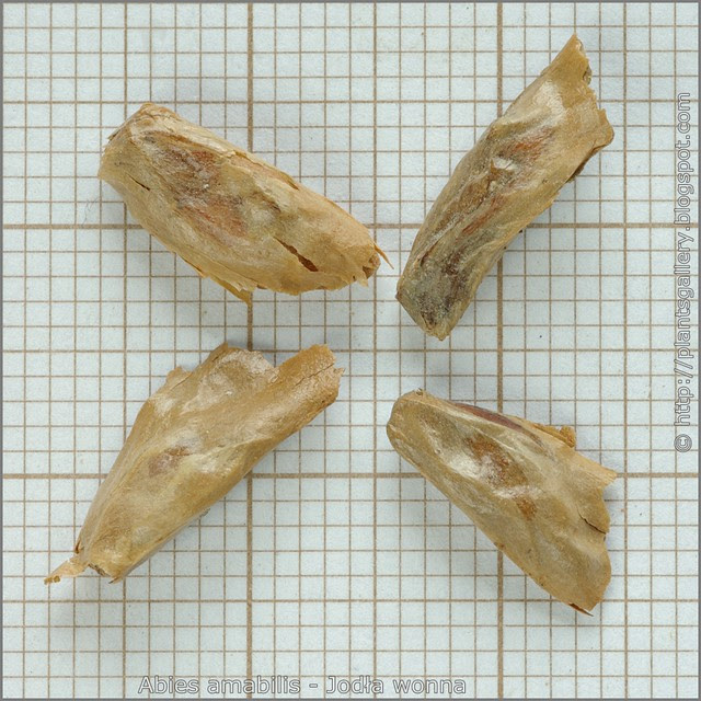 Abies amabilis seeds - Jodła wonna nasiona