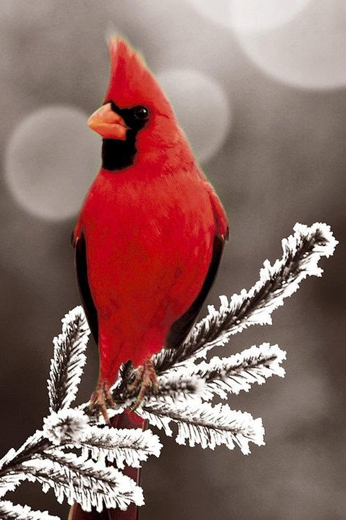 Red Cardinal - los hum ramo nevado