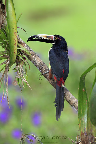 Aracari by Megan Lorenz