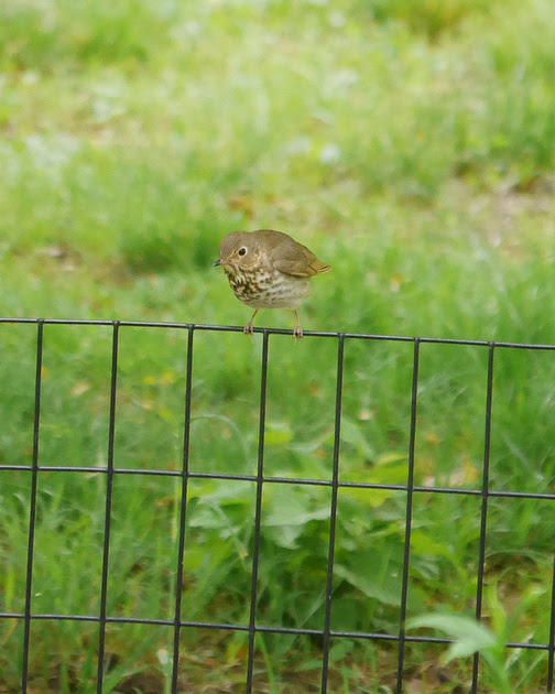 Ed Gaillard: birds &emdash; Swainson's Thrush, Central Park