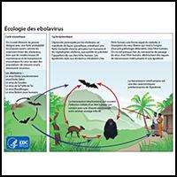 Ecologie des ebolavirus