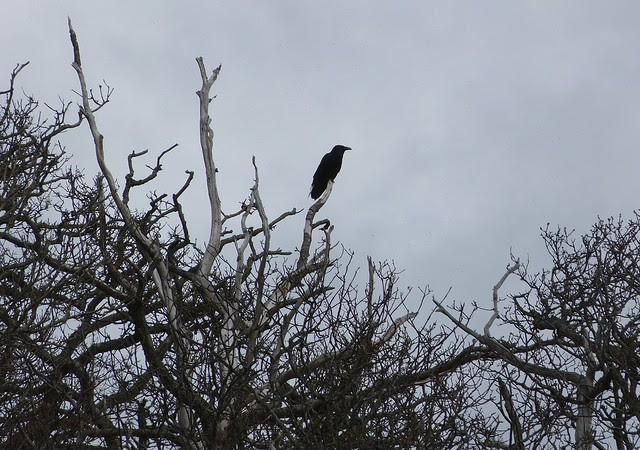 27115 - Raven, Isle of Mull