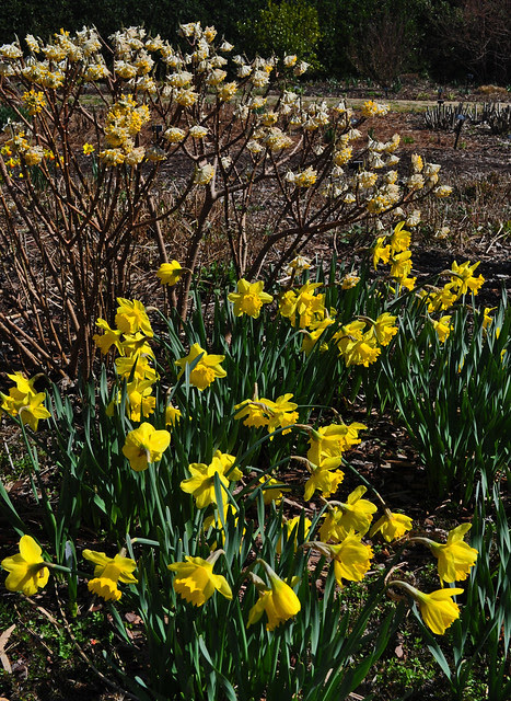 Narcissus Wednesday (10)