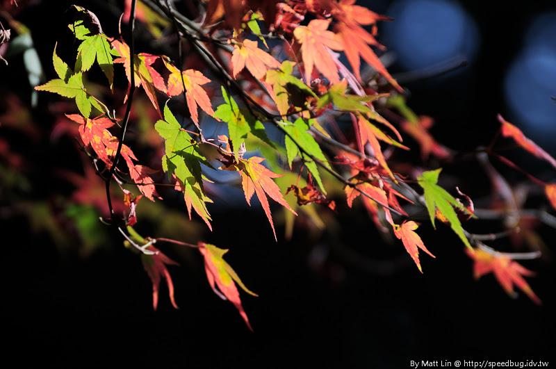 福壽山農場楓紅-9