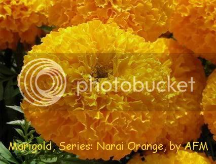 เมล็ดพันธุ์ดอกดาวเรือง นารายณ์ สีส้ม