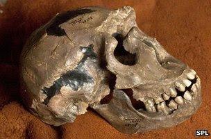"""""""Turkana Boy"""" skull"""