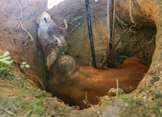 Touro cai em poço nos EUA (Foto: John Spink/Atlanta Journal-Constitution via AP)