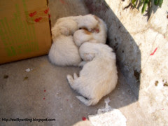 A litter of puppies. Wuyishan, China.