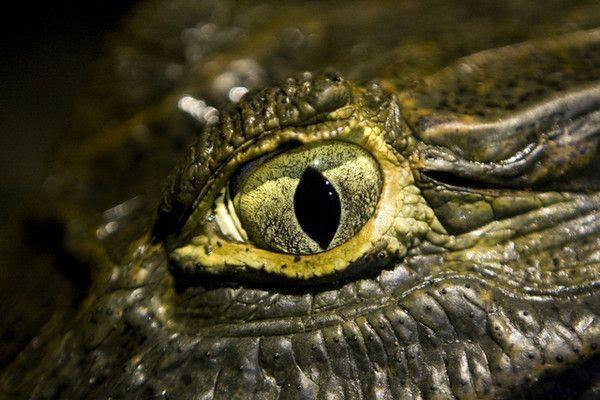 Dévoré par un crocodile marin devant sa famille