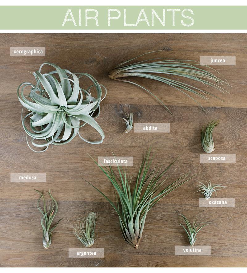 air plant care1
