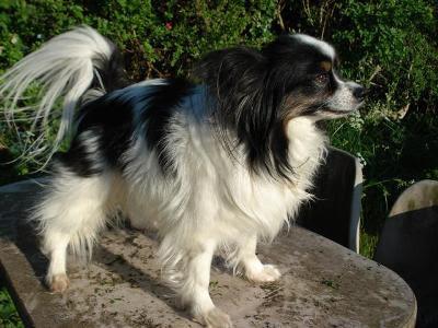 333120 As 10 raças de cães mais inteligentes 8 As 10 raças de cães mais inteligentes