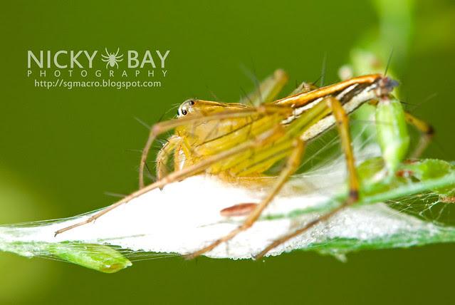 Lynx Spider (Oxyopidae) - DSC_7384