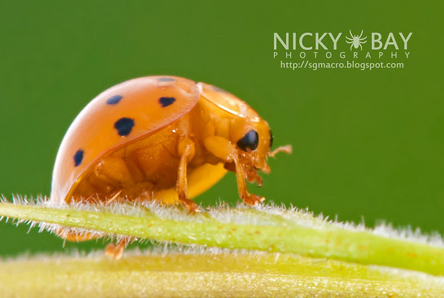 Ladybird (Coccinellidae) - DSC_4860