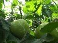 Báo VOV: Virus đốm héo cà chua gây hại nhiều loại cây trồng ở Lâm Đồng