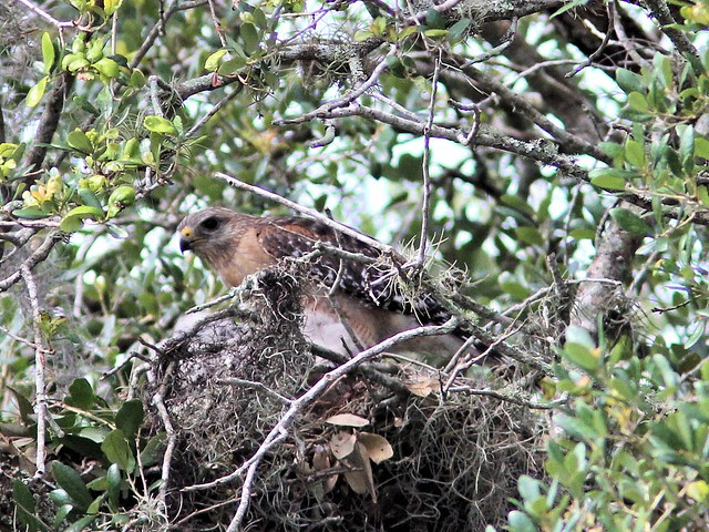 Red-shouldered Hawk nest 20130414