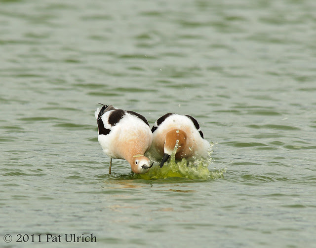 Avocet pre-copulation courtship and love bubbles - Pat Ulrich Wildlife Photography