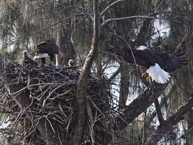 Bald Eagle male joins female and eaglets 20140205