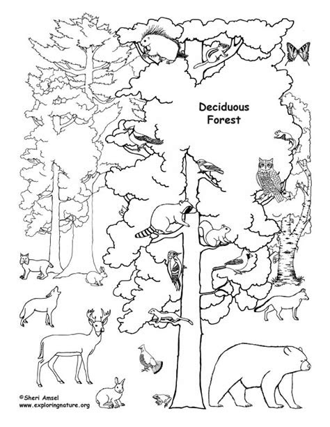 deciduous forest  animals coloring nature