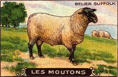 mouton 8