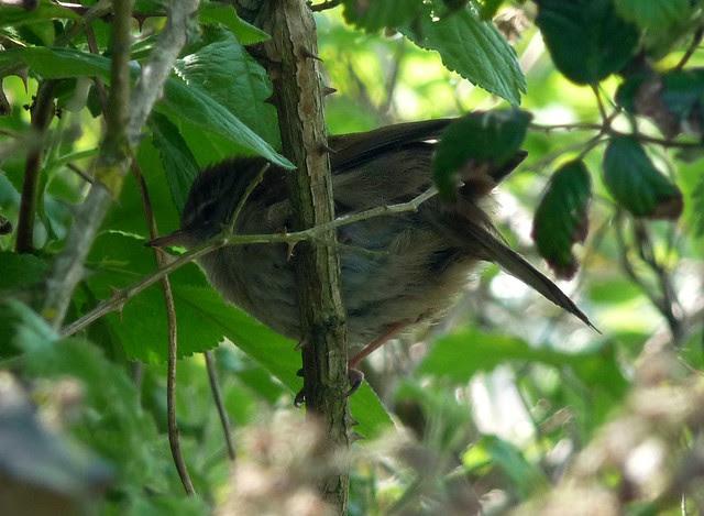 24235 - Cetti's Warbler, Radipole Lake
