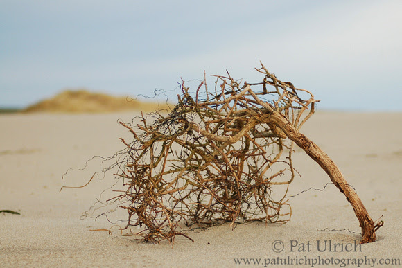 Photograph of beach tumbleweed in Point Reyes