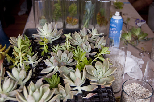 succulents to be arranged