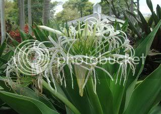 Daun Tembaga Suasa(Crinum Asiaticum)