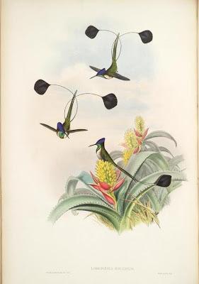 Loddigesia mirabilis - Gould's hummingbird illustration