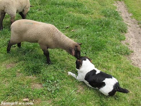 A little lamb love - FarmgirlFare.com