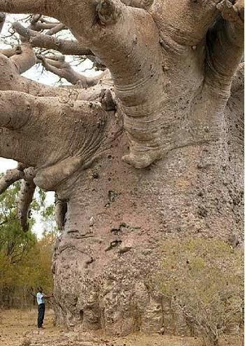 Boabab,  Also known as the tree of life