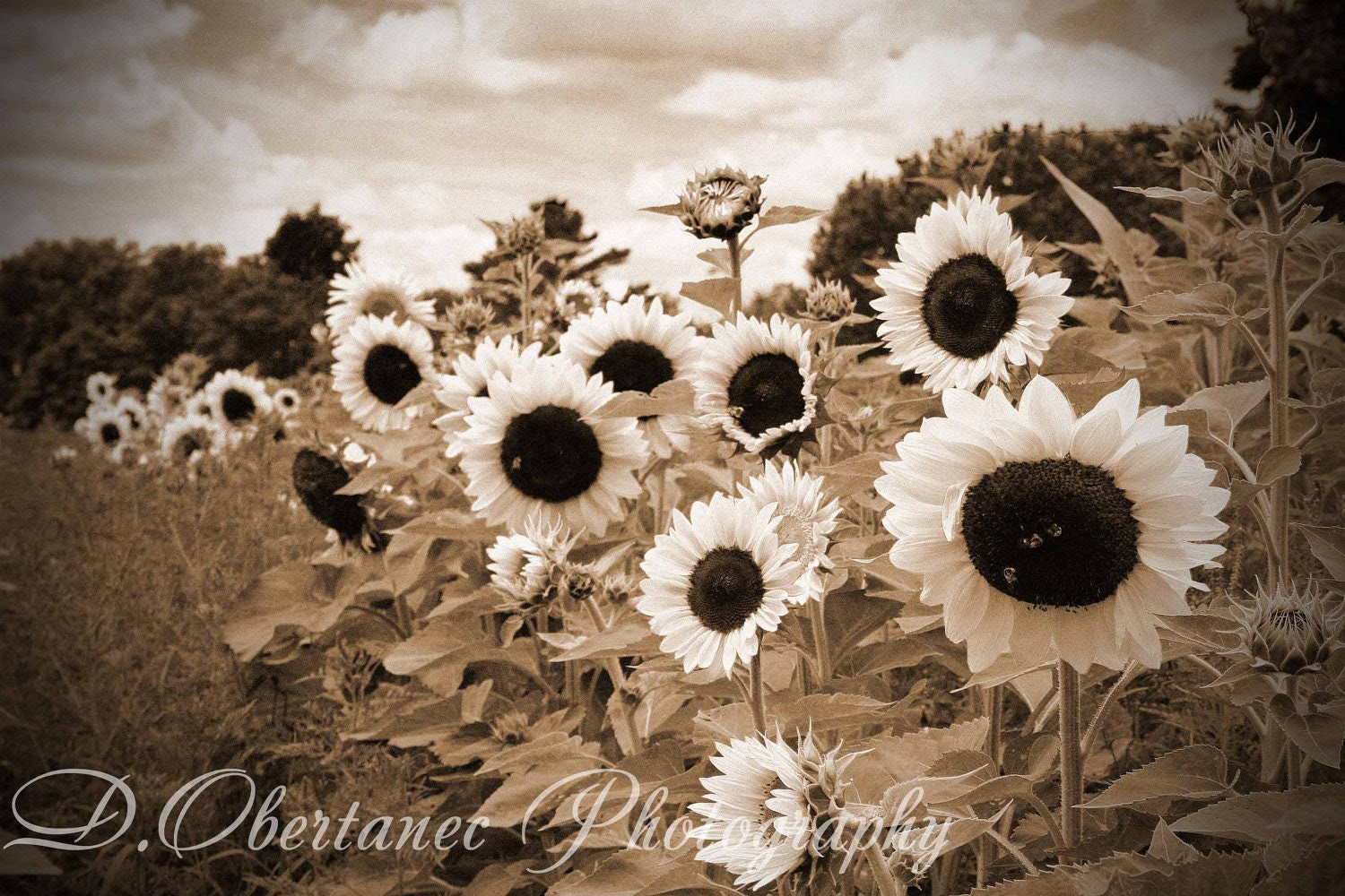 Sunflower Golden Sepia Farmhouse Decor by ShadetreePhotography