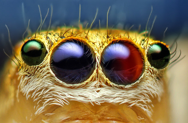 Anterior Median and Lateral Eyes of a Female Jumping Spider - (Maevia inclemens)