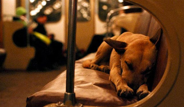 Moscow Dog Naps On Train 1