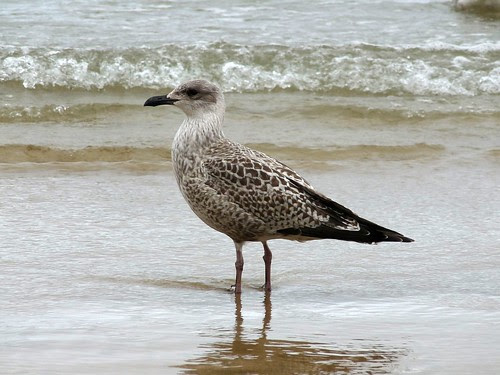 22274 - Immature Gull, Newquay Beach