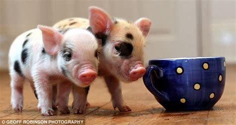 Tiny Pigs as Posh Pets: Finally Celebs Make Sense To Me ? Popten