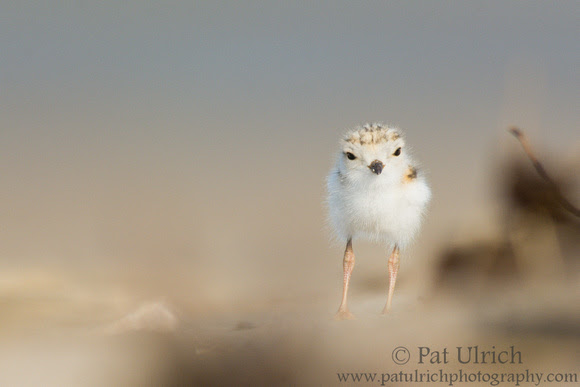 Photograph of a curious piping plover chick in Massachusetts