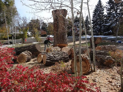 Taking down the big trunk on the cottonwood
