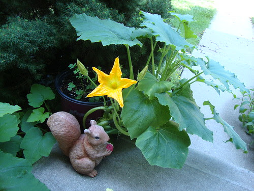 potted pumpkin plant