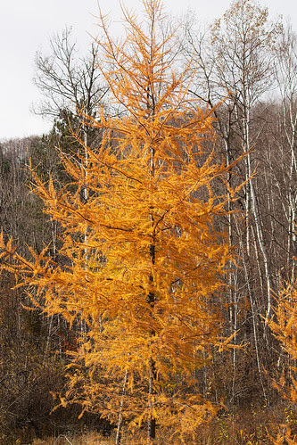 Autumn Tamaracks  03.jpg