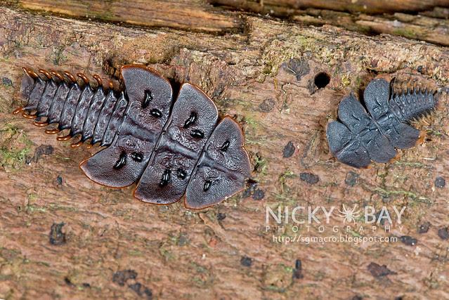 Trilobite Beetles (Platerodrilus ruficollis) - DSC_1811