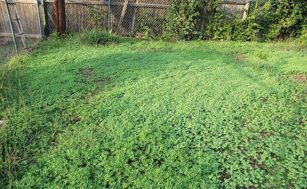 spontaneous woodsorrel field   in my backyard