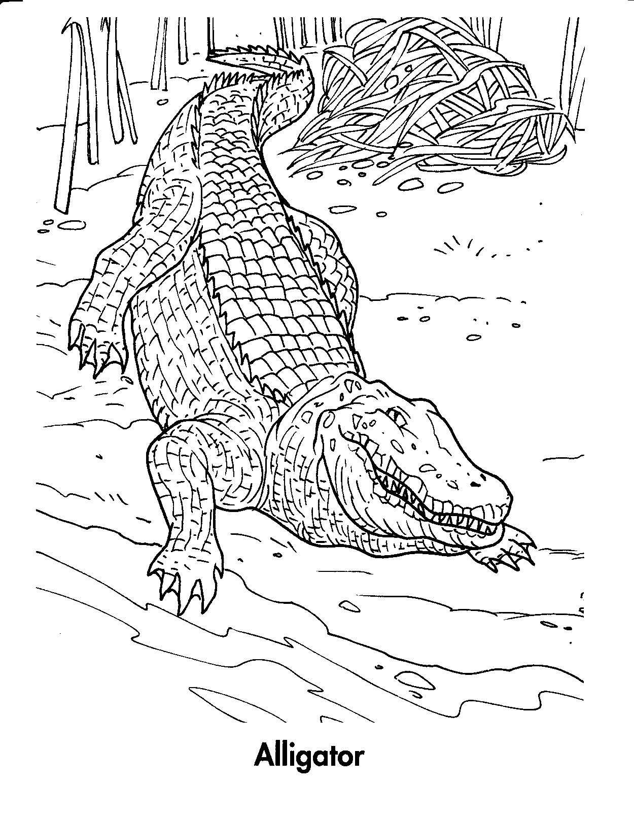 Alligator Open Mouth Coloring Page - Free Alligator Coloring Pages ... | 1610x1250