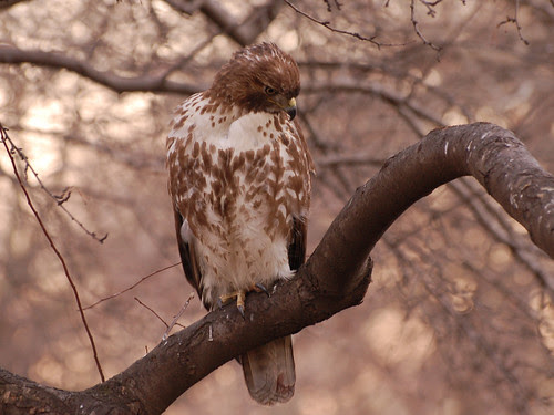 Tompkins Square Juvenile Red-Tailed Hawk