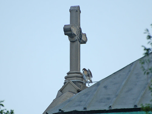 Red-Tail Fledgling and Cross