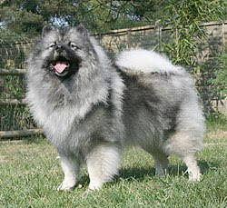 Keeshond One in List Top 100 Dog Breeds