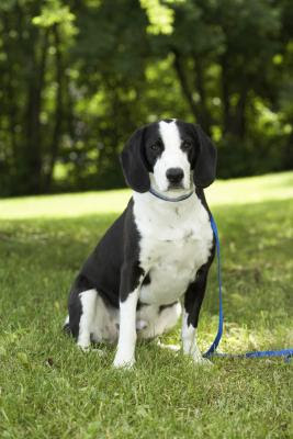 Heeling sticks are an effective tool to help your dog perfect obedience commands.
