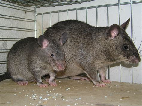 Image   Cricetomys gambianus (Gambian Pouched Rat)   BioLib.cz