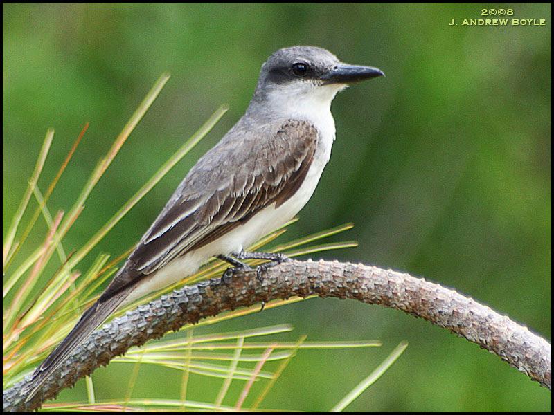 Grey Kingbird