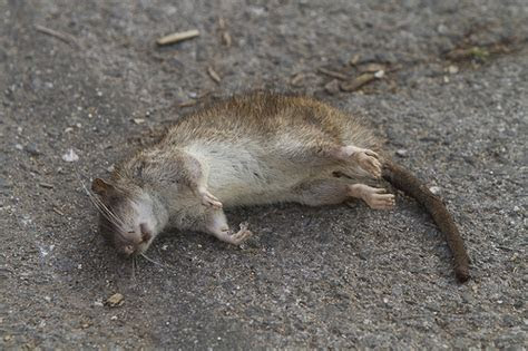 Dead Rat   Flickr   Photo Sharing!