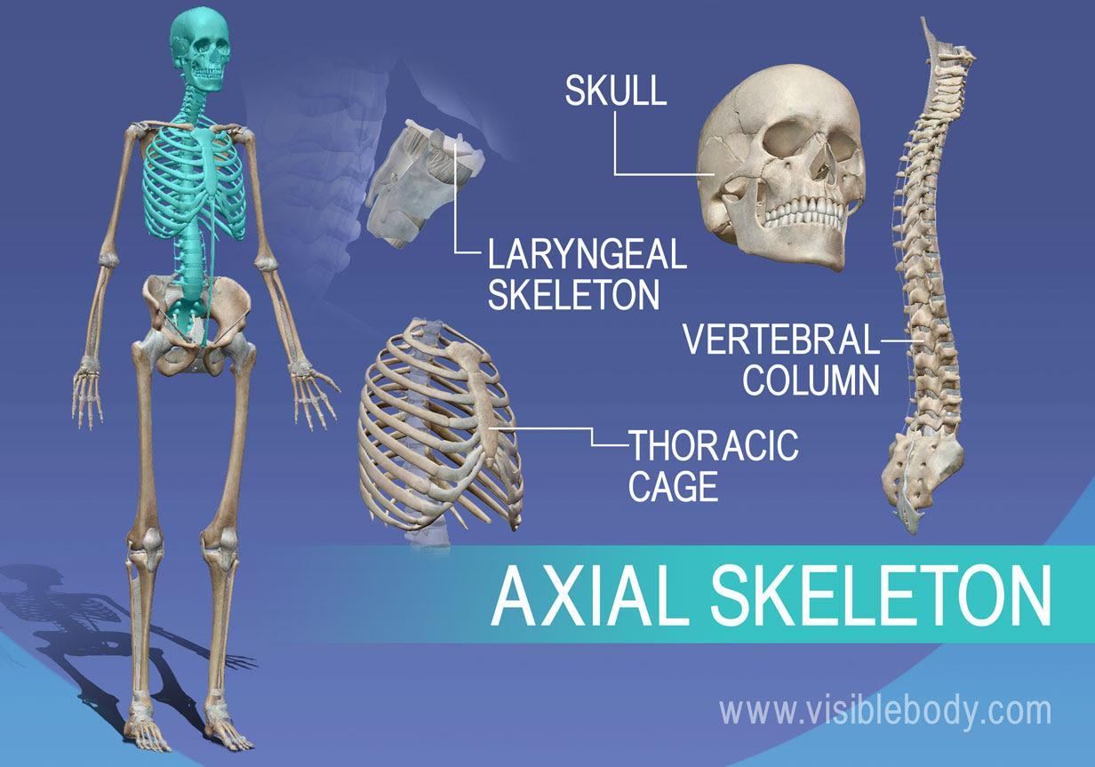 1C Axial Skeleton 1232W